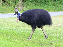 Southern_Cassowary_7071